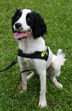 海關工作犬 - 英國史賓格跳犬