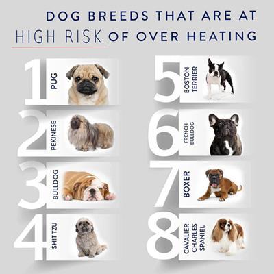 最易中暑的八個犬種依次為:八哥、北京狗、老虎狗、西施、波士頓㹴狗、法國鬥牛狗、拳師狗、查理士王小獵犬