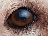 貴婦狗的眼睛