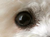 比熊犬的眼睛