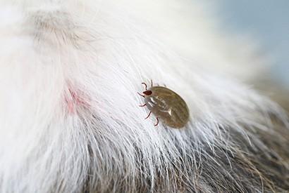 牛蜱熱的症狀及預防方法