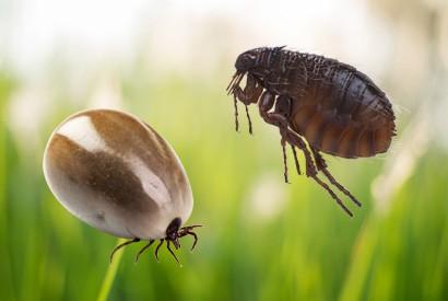 如何預防跳蚤和牛蜱