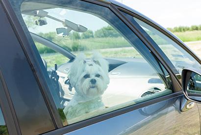 狗狗獨留車內中暑風險極高