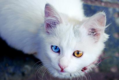大多數白貓有藍眼及聽障