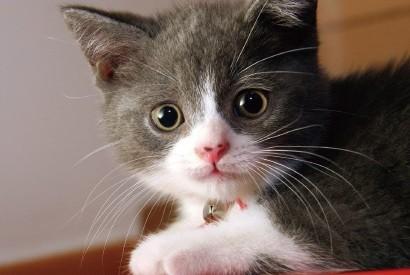 貓貓需要食離胺酸嗎?