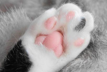 貓肉球的結構與功能