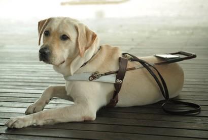 視障人士第二雙眼 - 導盲犬
