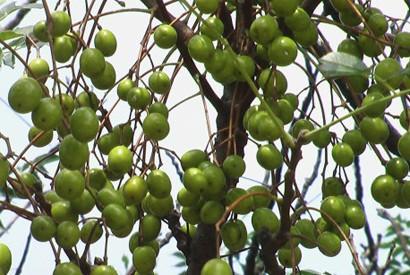 天然的植物驅蟲劑 - 苦楝油